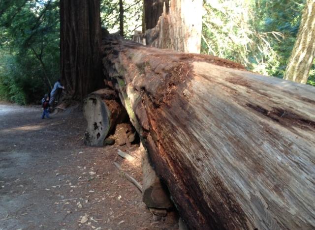 fallen redwood.