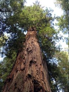 redwood trunk