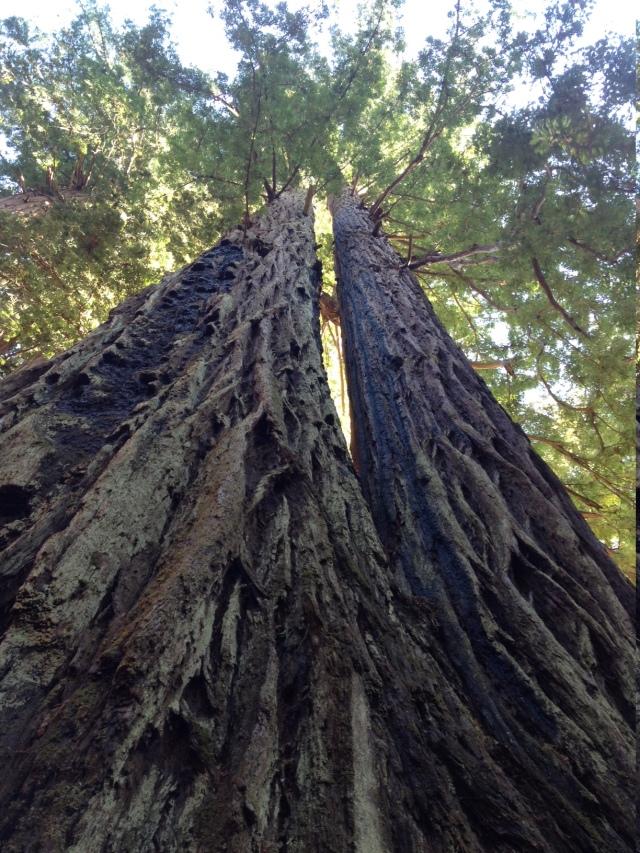 redwood trunks